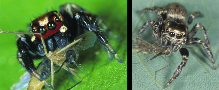 Evarcha Culicivora, the African spider
